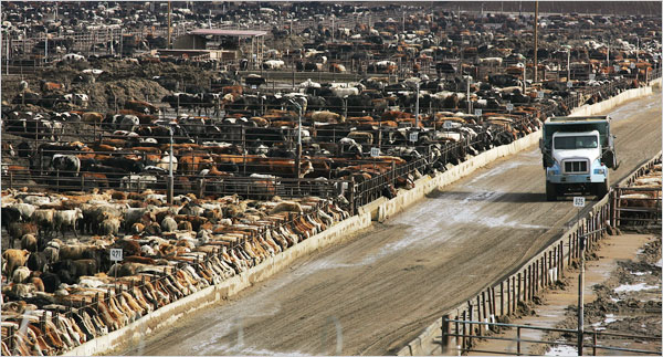 Factory Cow Herd