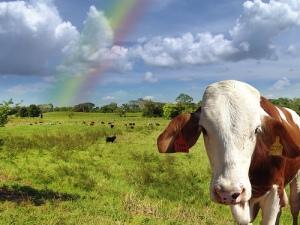 grassfed_cow